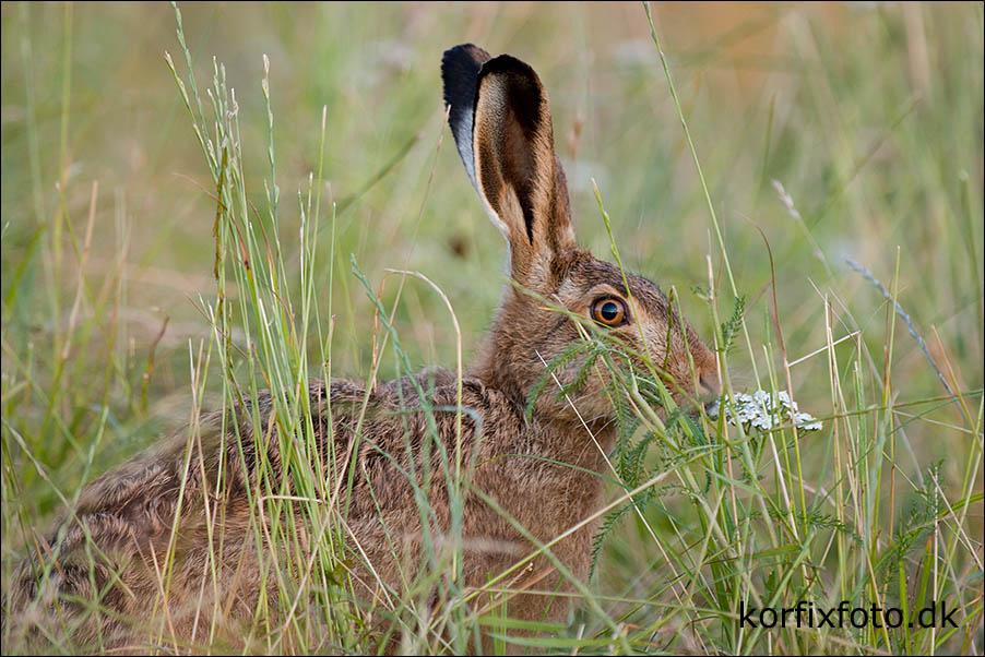 ramler hare